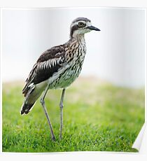 Bush stone-curlew resting on the beach. Poster