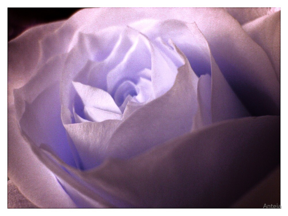Rose by Anteia
