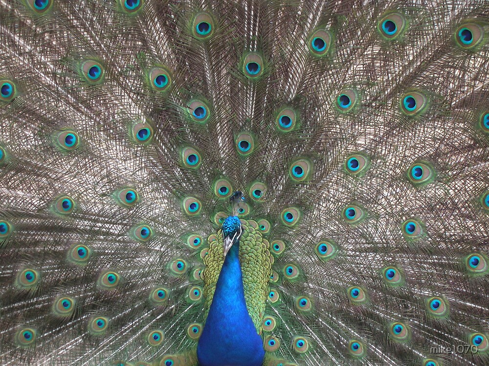 The beautiful eyes of a peacock by mike1070