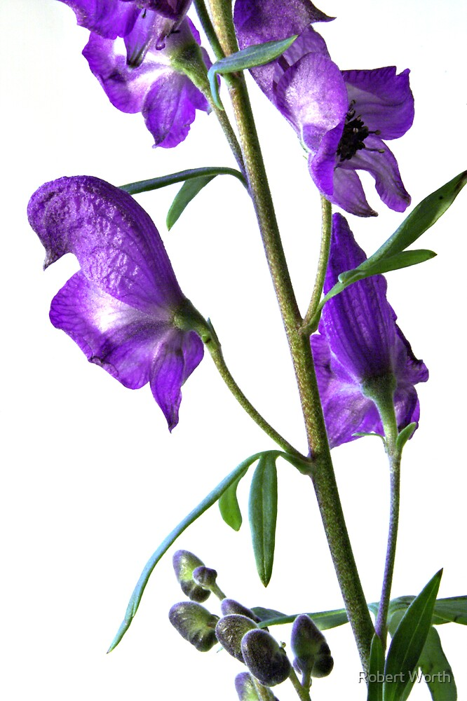 Aconitum Cammarum by Robert Worth