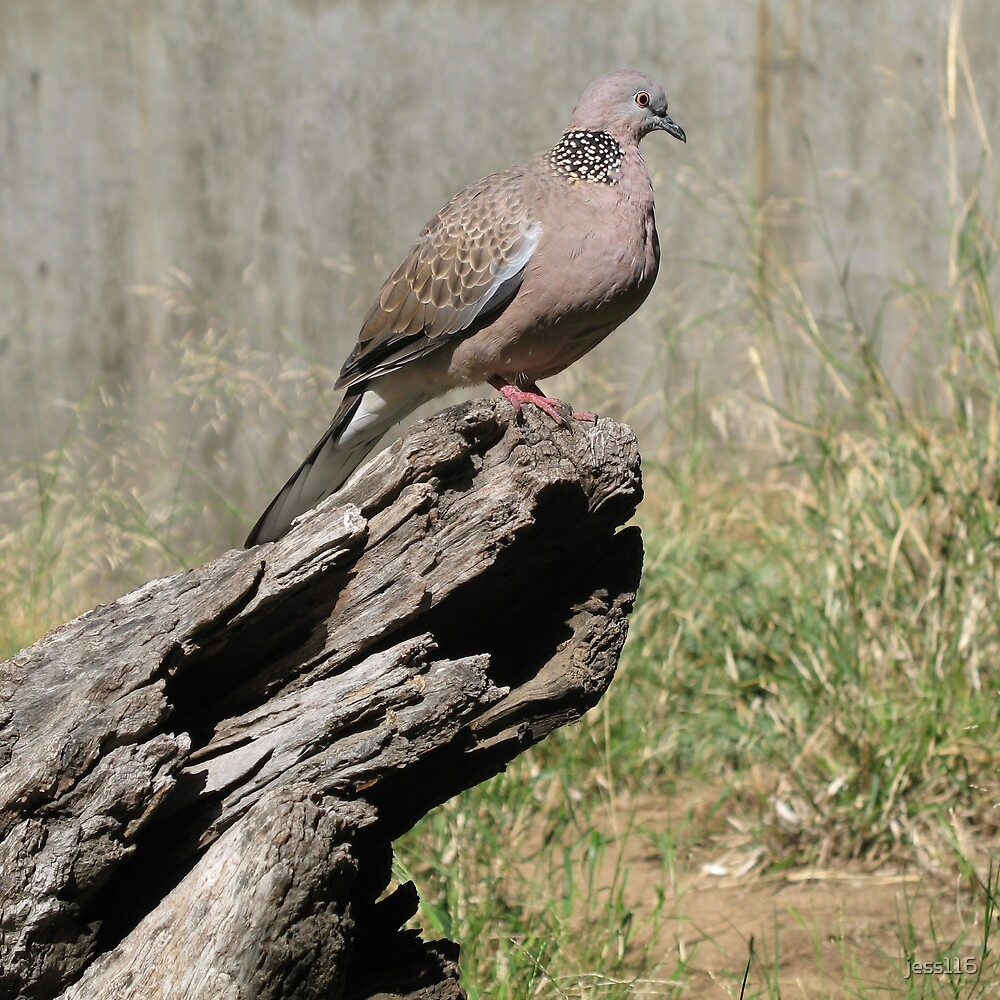 Spotted Turtle-Dove by jess116