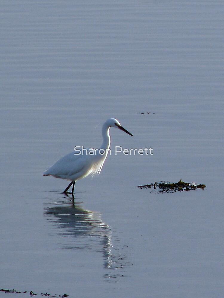 Little Egret Feeding by Sharon Perrett