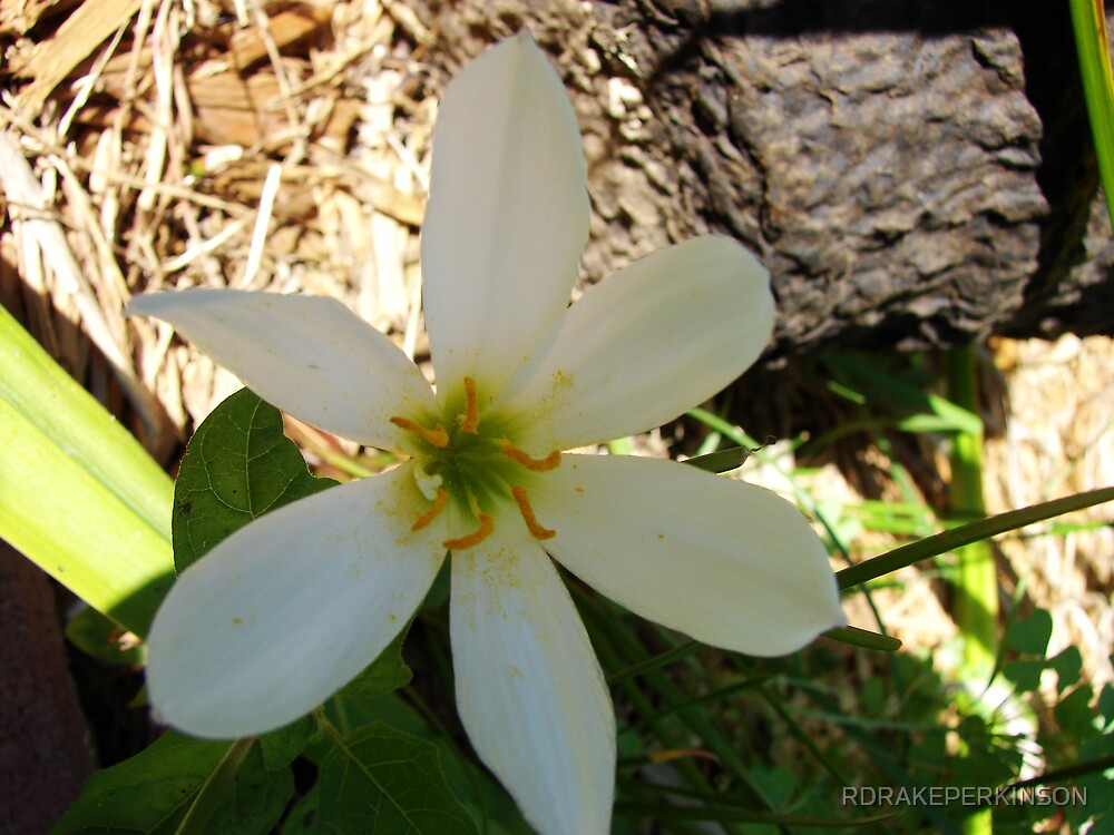 FAIRY LILY by RDRAKEPERKINSON