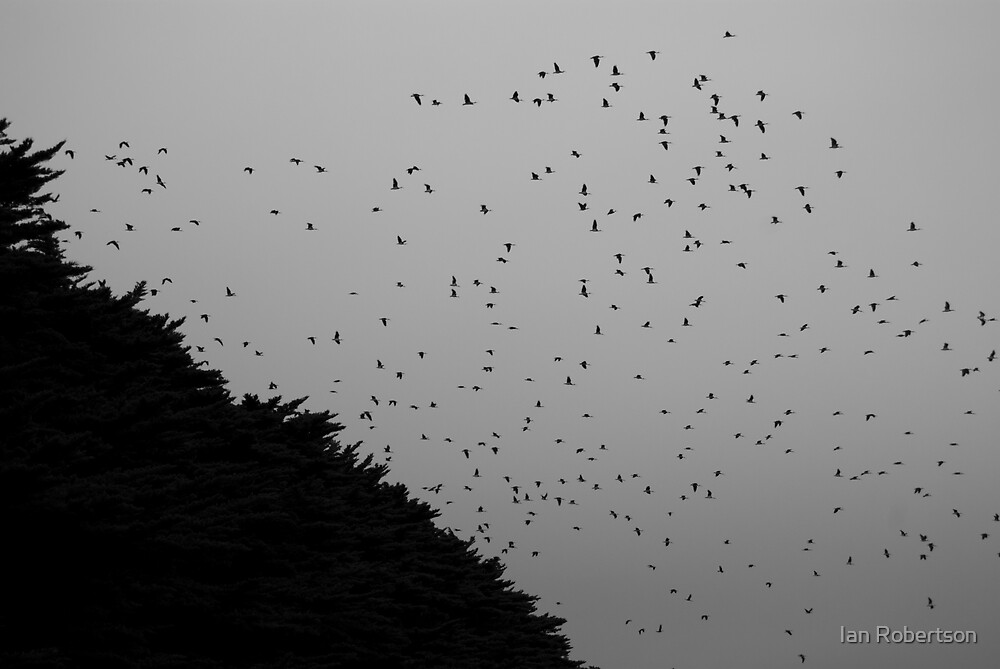 black birds by Ian Robertson