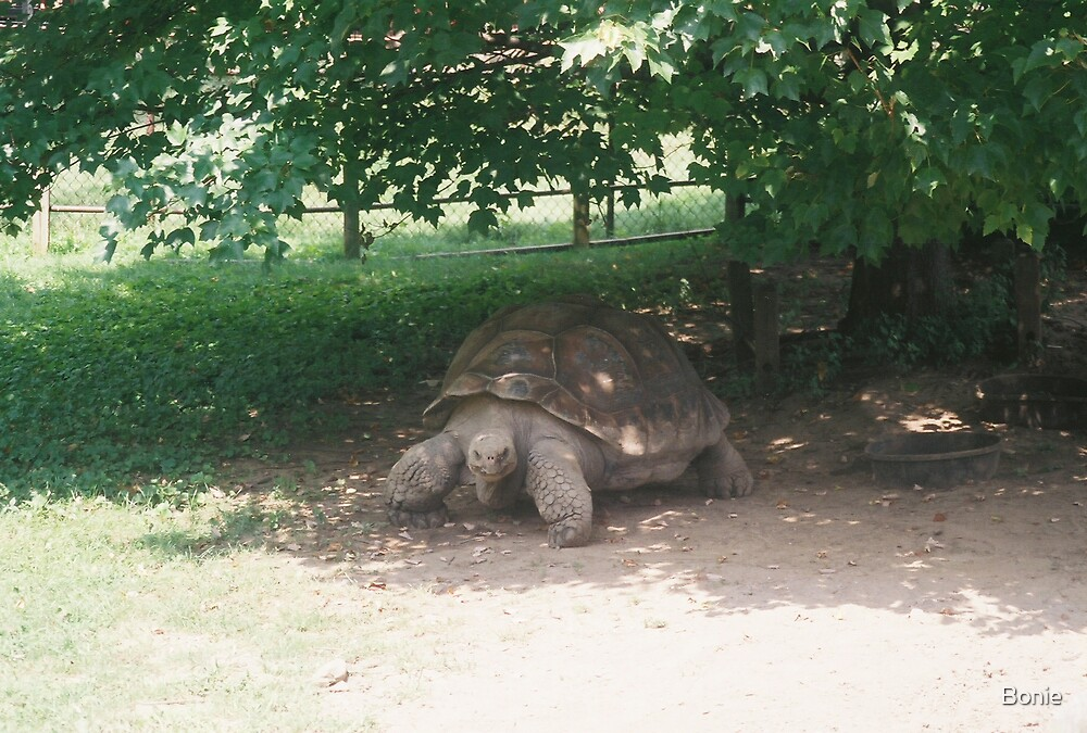 Turtle by Bonie