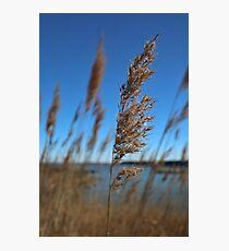Choptank River Weeds Photographic Print