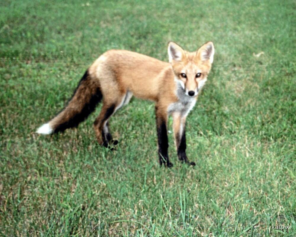 Fox by katpix