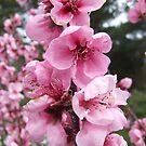 Blossoms by Samara  Lee