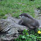 Asian Otter..........Devon UK by lynn carter