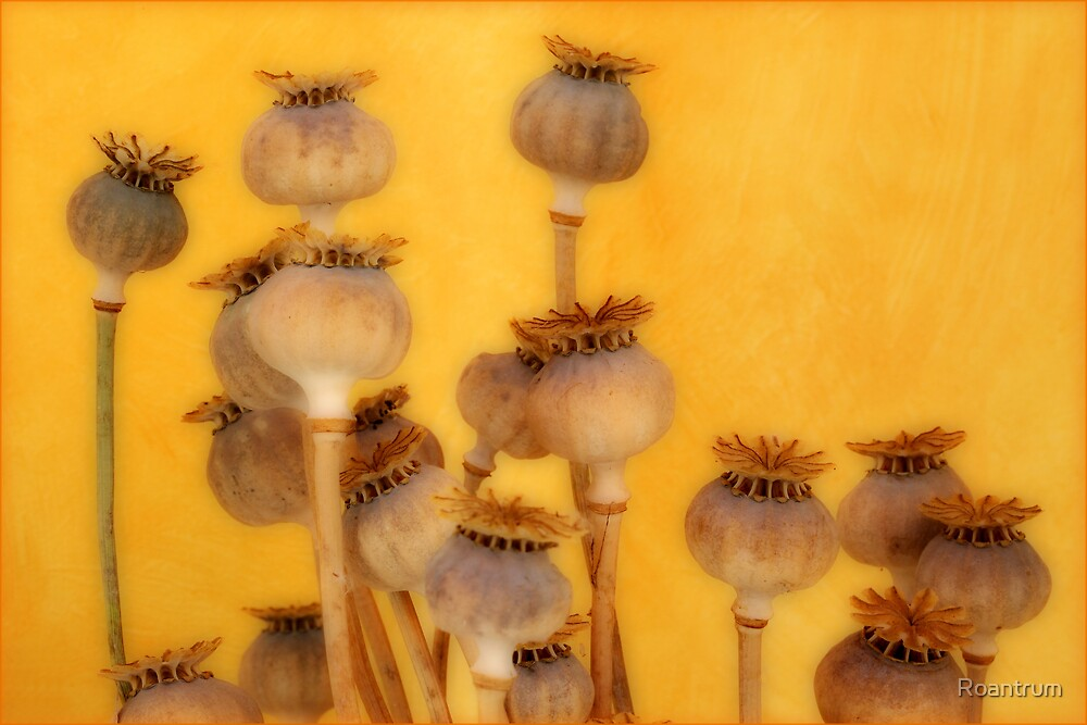 Poppy Heads by Roantrum