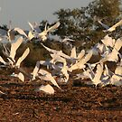 Corella's by craignoble