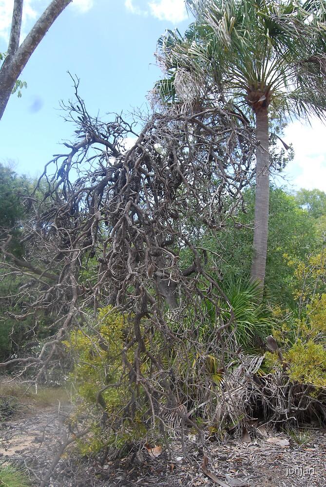 Old dead Botttle-brush tree by junjari