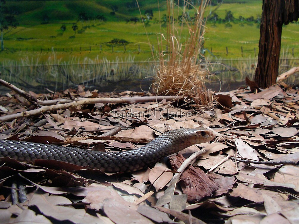 Eastern Brown Snake by Jordan N Clarke