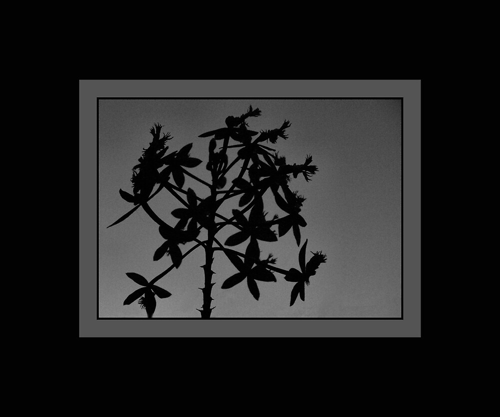 Terrestrial Orchid Silhouette by Kay  G Larsen