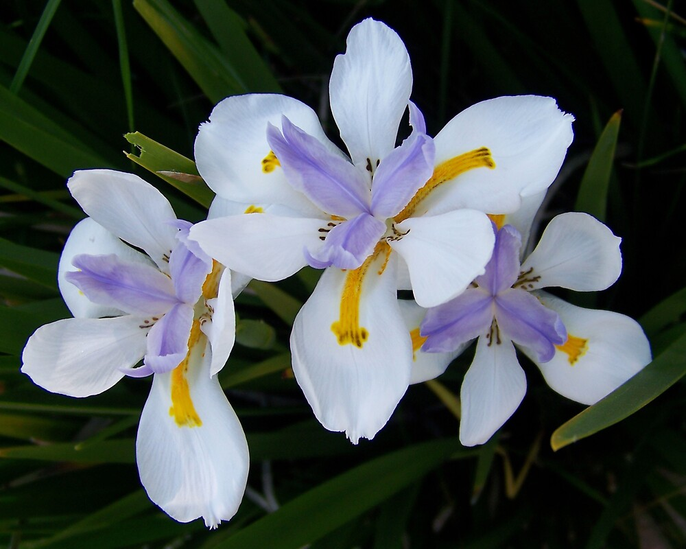Three Irises by Kay  G Larsen