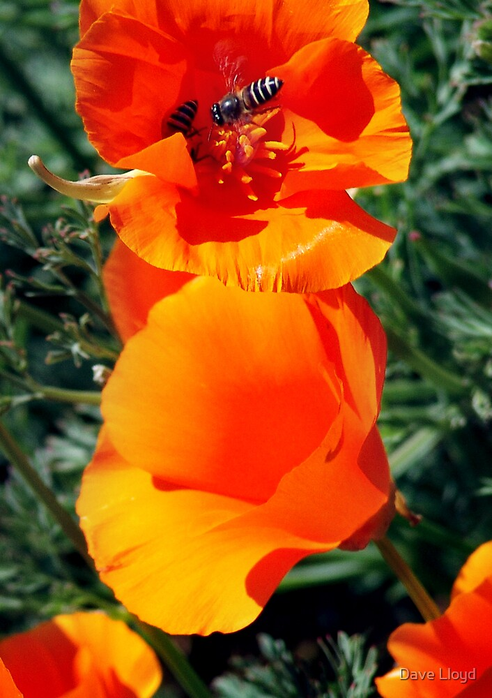 Orange Flower And Bee by Dave Lloyd