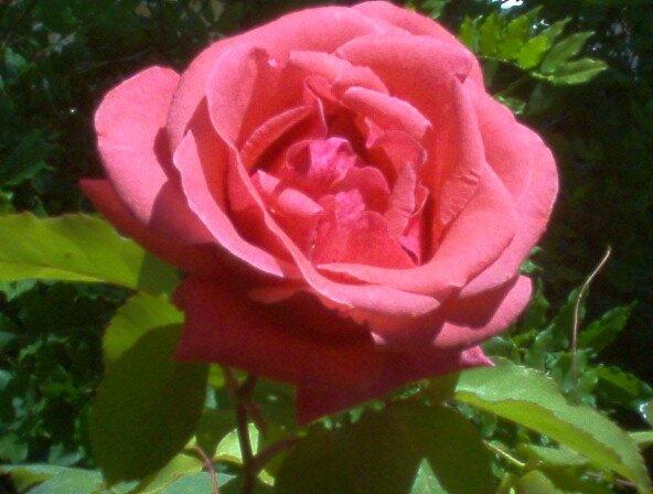 A Rose is Art in It's Self by kman935