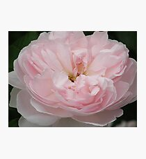 Tranquil Rose Photographic Print