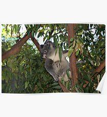 Backyard Koala Poster