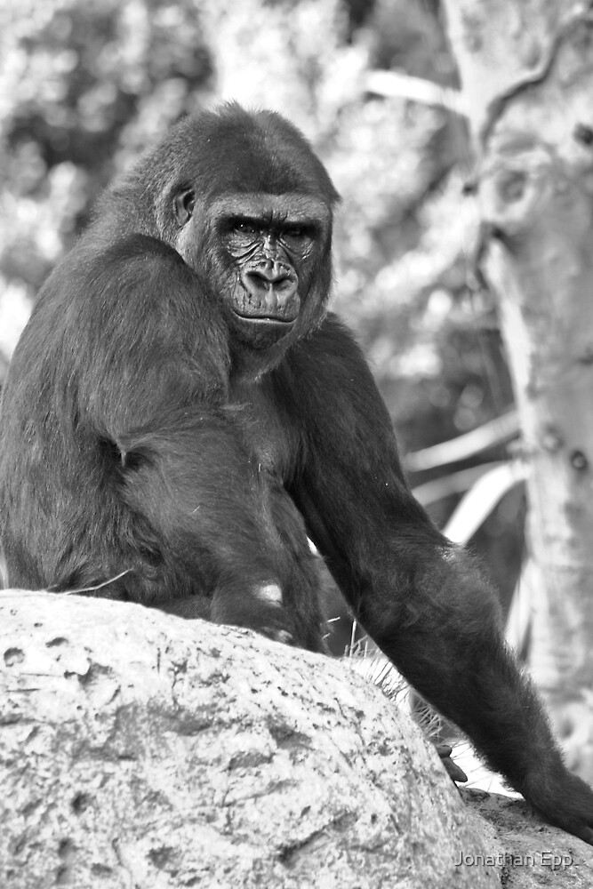 Gorilla primate animal by Jonathan Epp