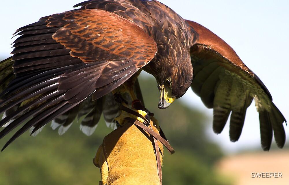 Harri Hawk Mantling the glove by SWEEPER