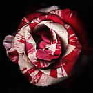 Striped Rose by hagnes