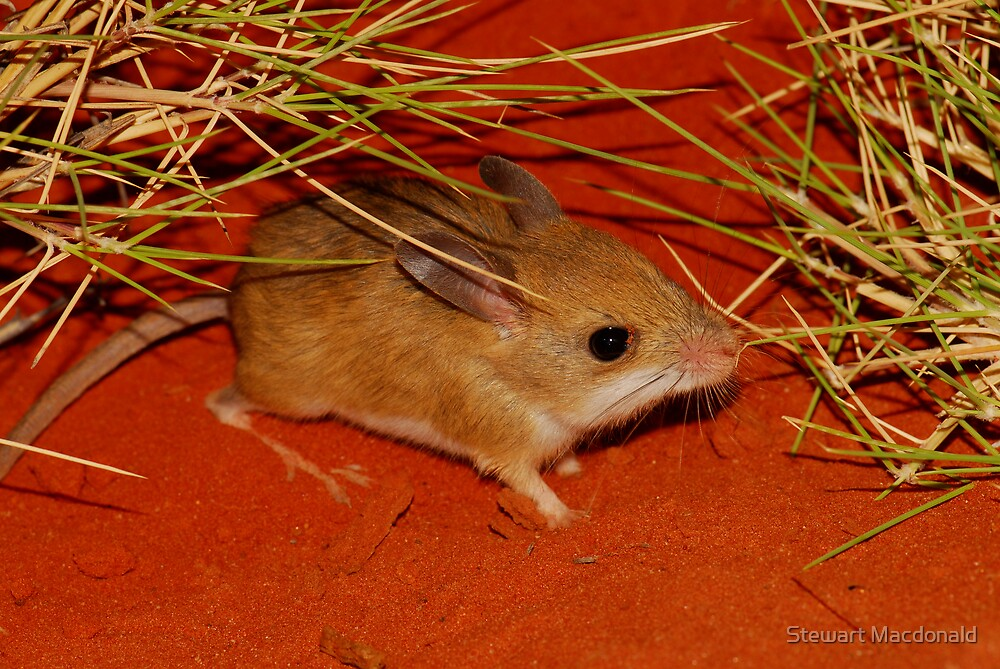 Spinifex hopping mouse by Stewart Macdonald