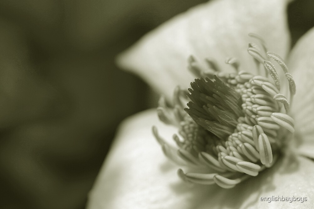 Sepia Clematis by englishbayboys