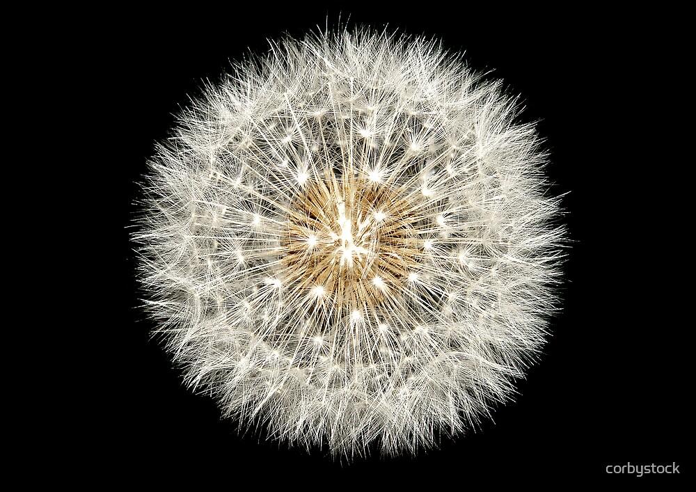 Dandelion by corbystock