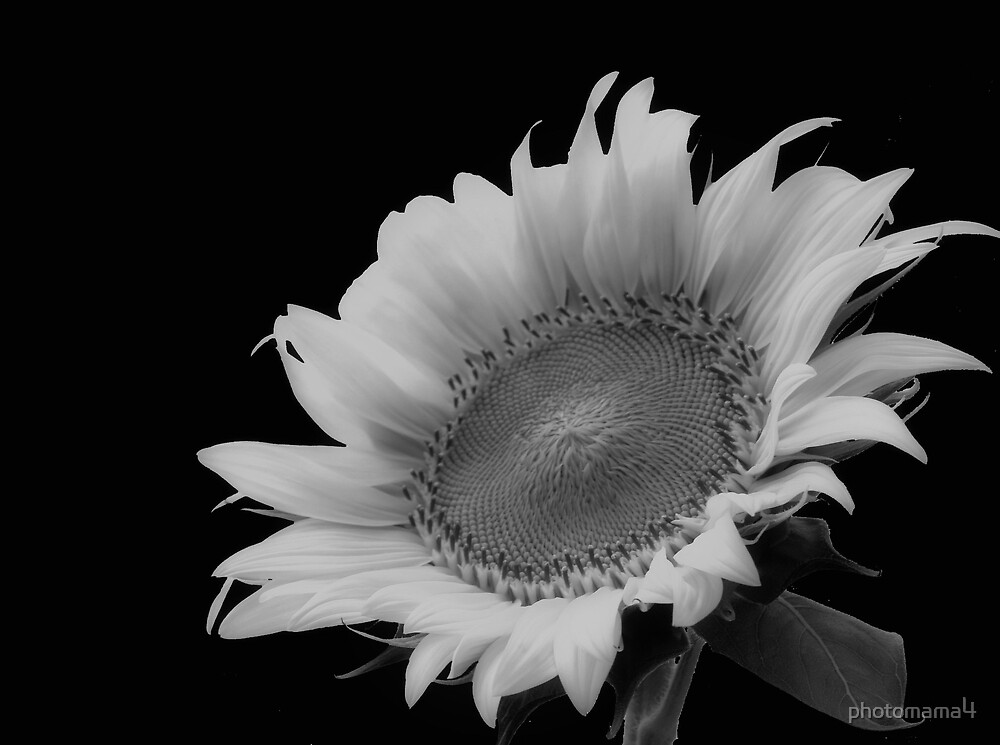Sunflower Alone Black and White by photomama4