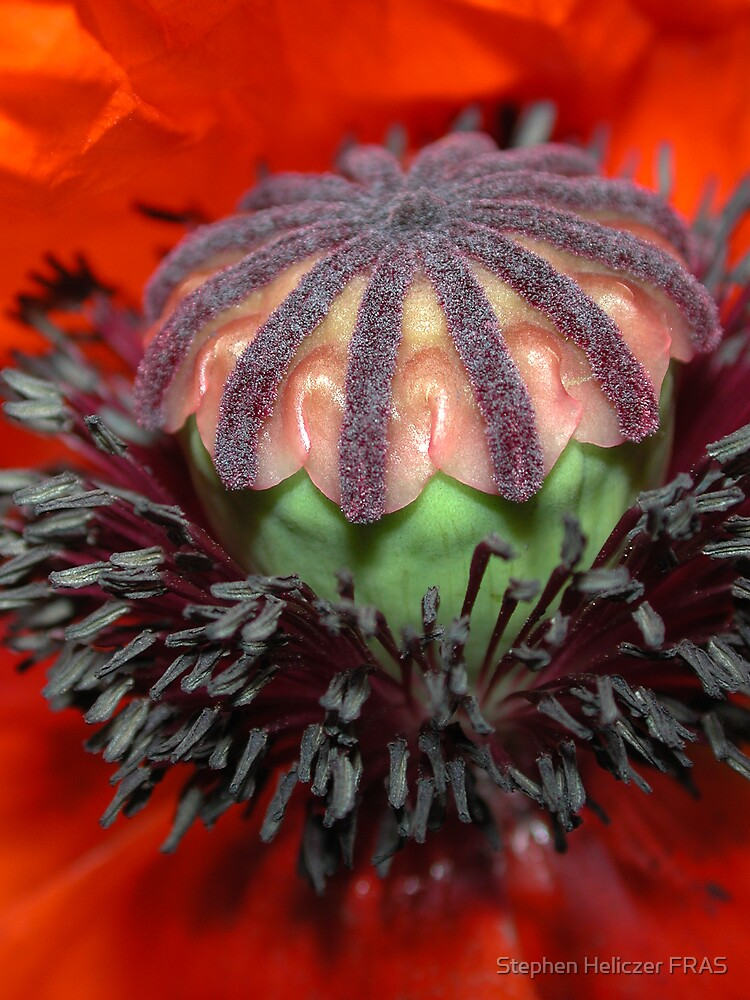 Poppy by Stephen Heliczer