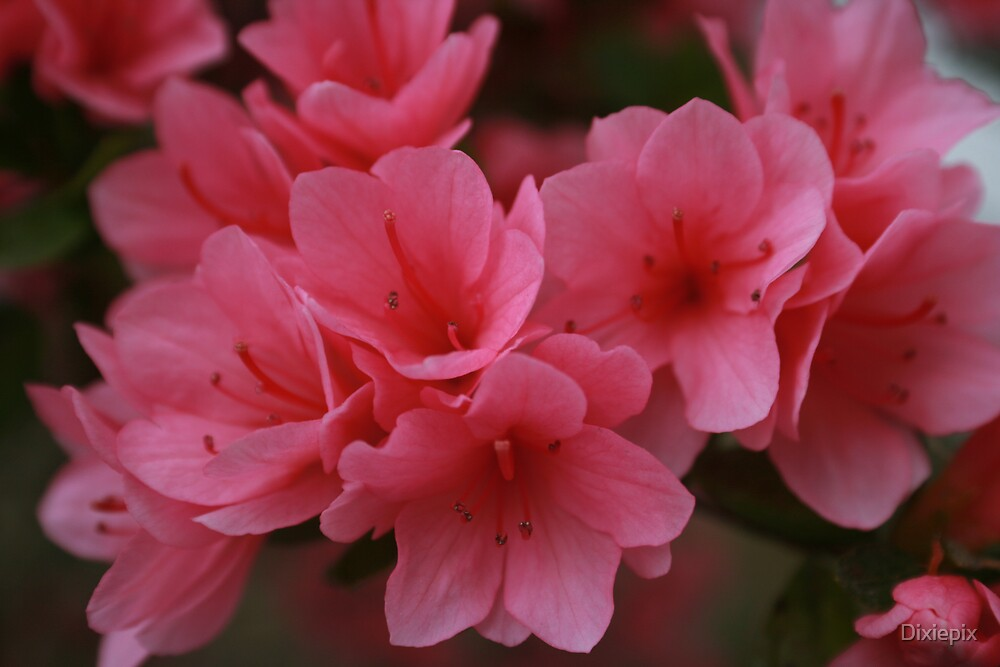 Pink by Dixiepix