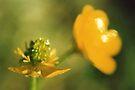 Buttercups by Chelsea Kerwath
