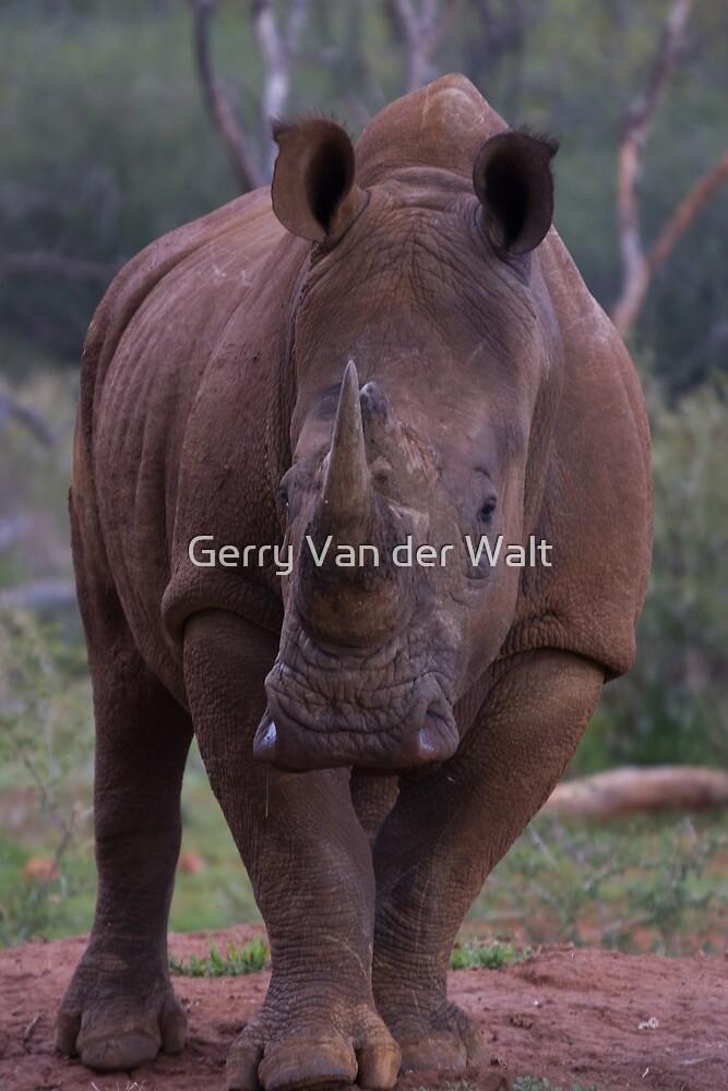 White Rhino  by Gerry Van der Walt