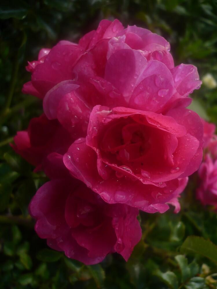 Roses by greeneyedgirl