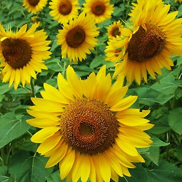 Sunflowers by oldfool148