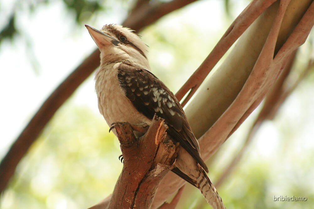 One kookaburra 2 by bribiedamo