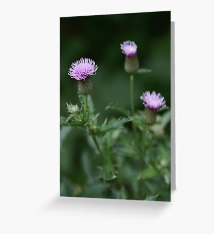 Canada Thistle Greeting Card