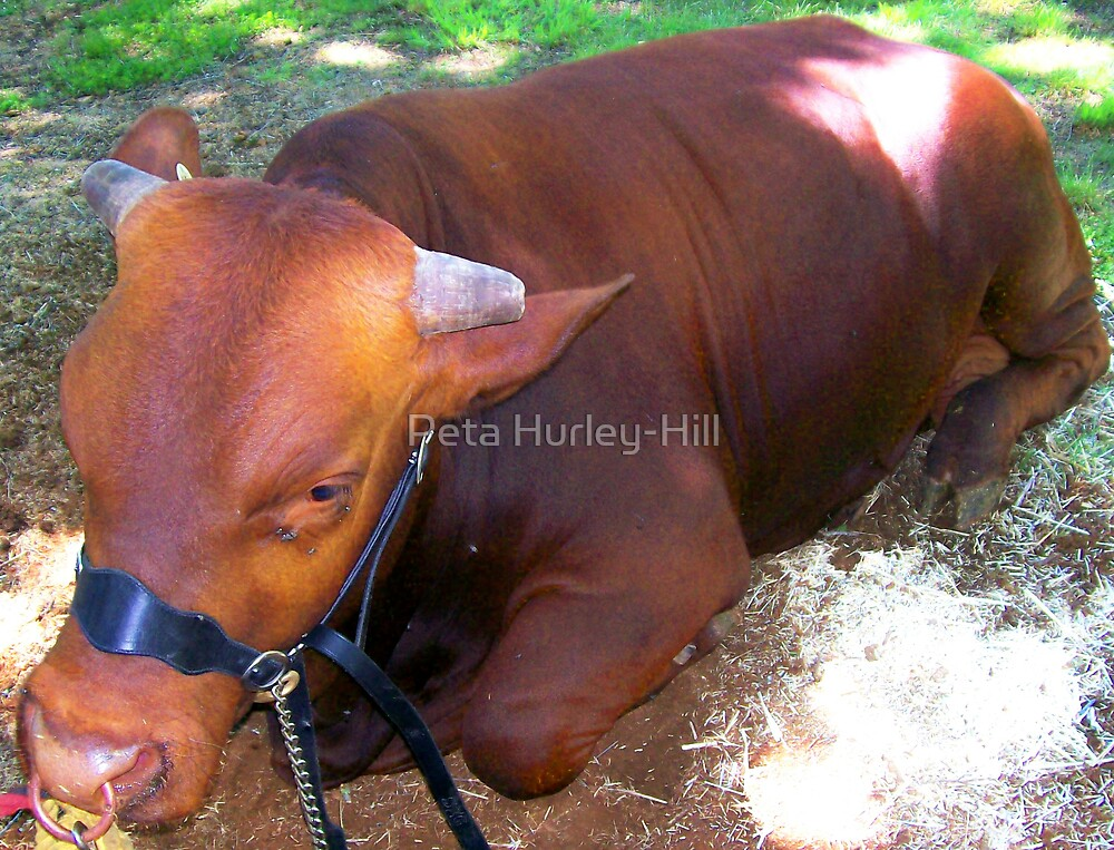 bull by Peta Hurley-Hill