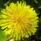 Danilion Flower - weed by DPalmer