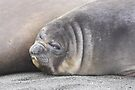 """""""Not another photo""""   ~    Southern Elephant Seal Pup by Robert Elliott"""