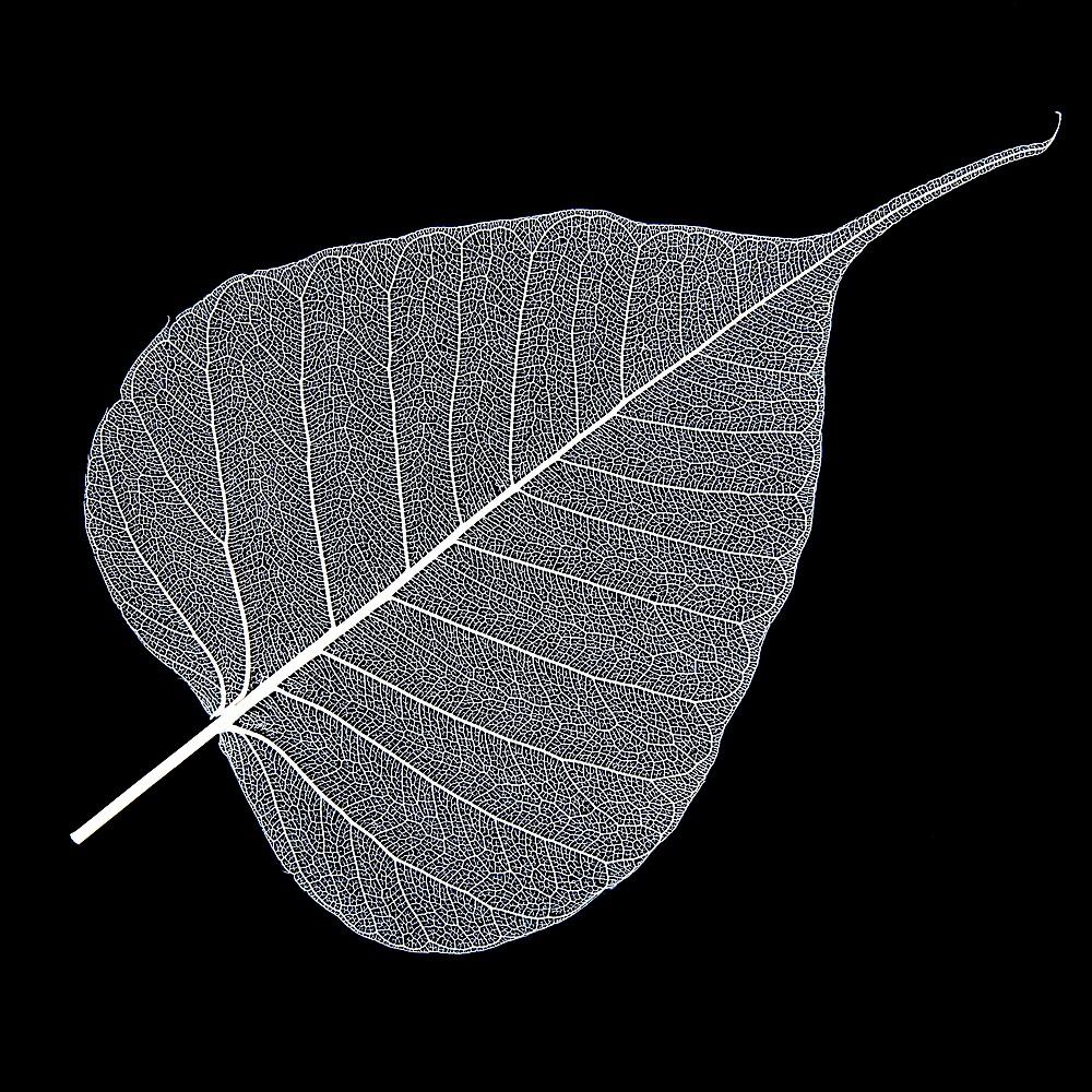 Leaf Skeleton White by Hywel Harris