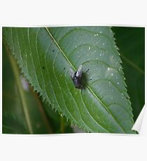 Fly on a leaf. Poster