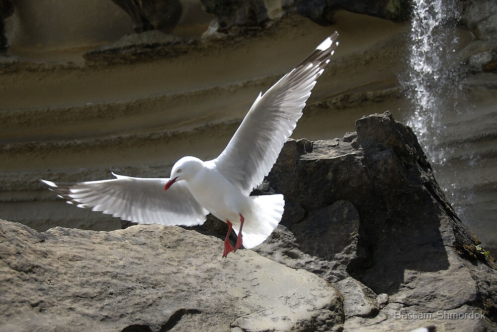 Seagull in flight by Bassam  Shmordok