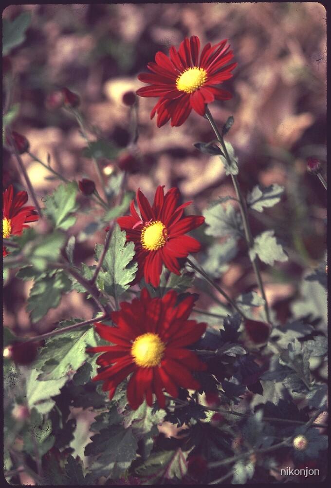 Red Daisy Mums by nikonjon