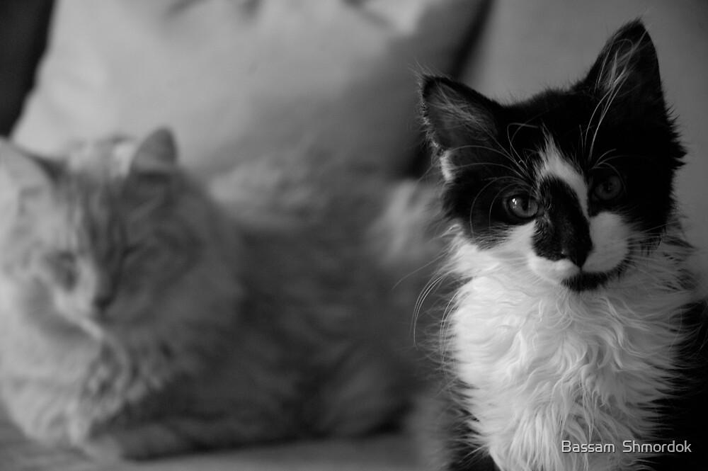 Cats by Bassam  Shmordok
