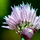 Chives Flower by Extraordinary Light