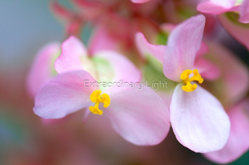 Floral Butterflies - Begonia by Extraordinary Light