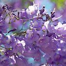 Spring Jacaranda Blossoms by Extraordinary Light
