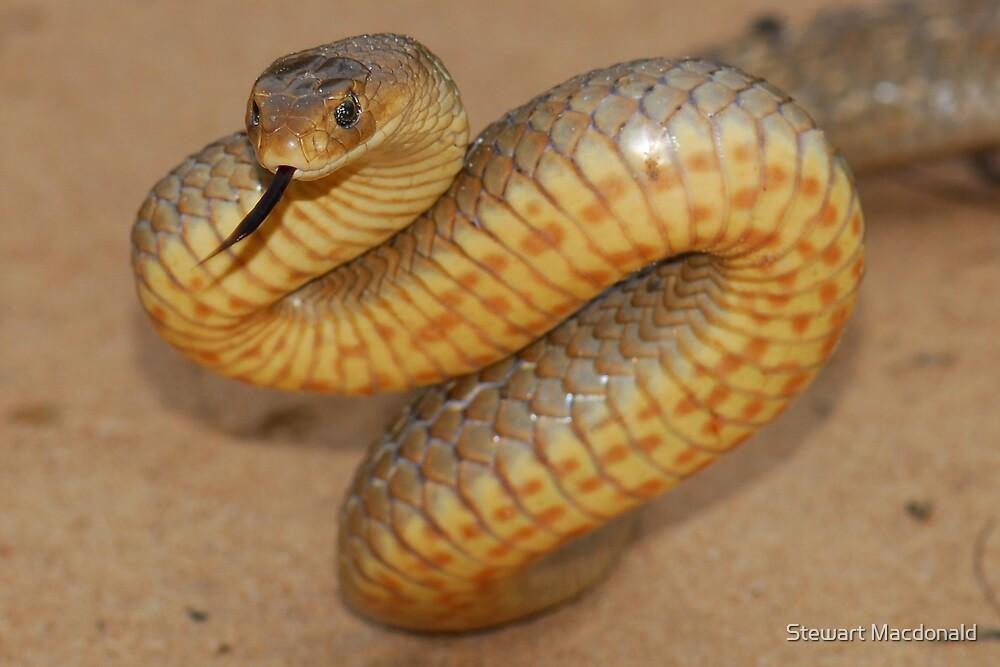 Eastern brown snake by Stewart Macdonald